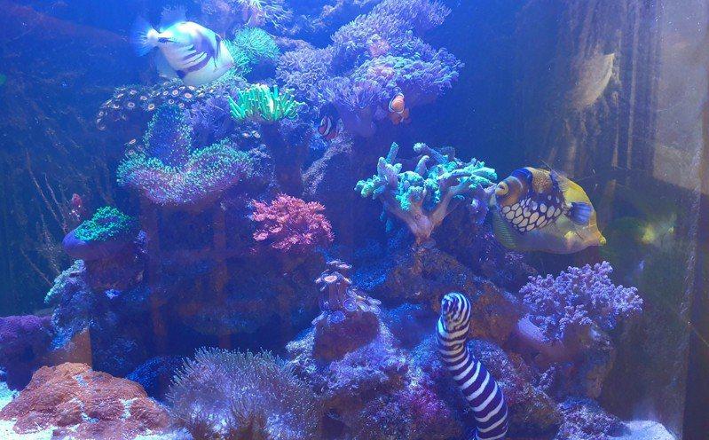防疫宅在家,設海水魚和珊瑚缸的人變多。 記者游振昇/攝影
