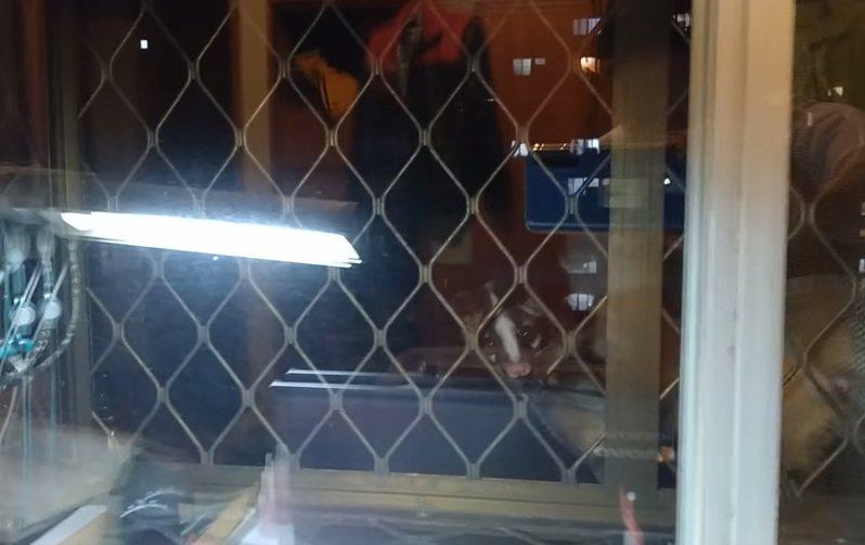 一名家住15樓高的網友半夜發現窗戶外竟然出現白鼻心。 圖擷自爆怨公社