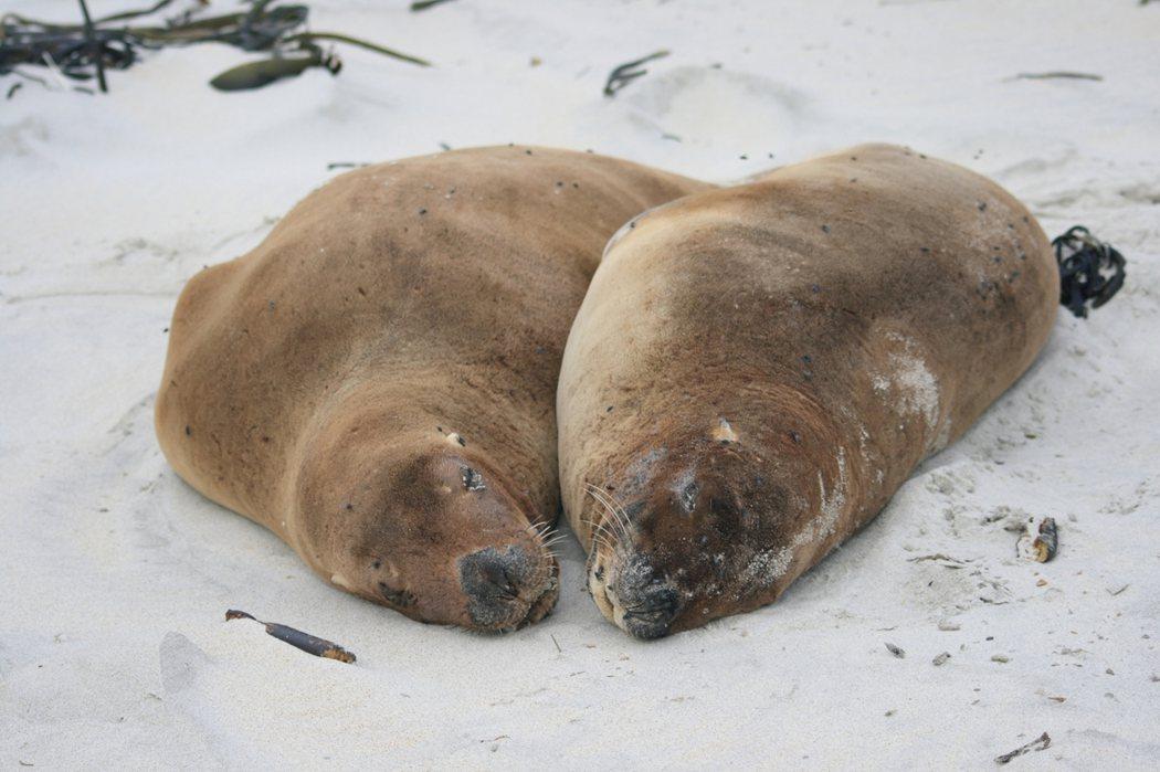 沙地上的紐西蘭海獅(Phocarctos hookeri)。