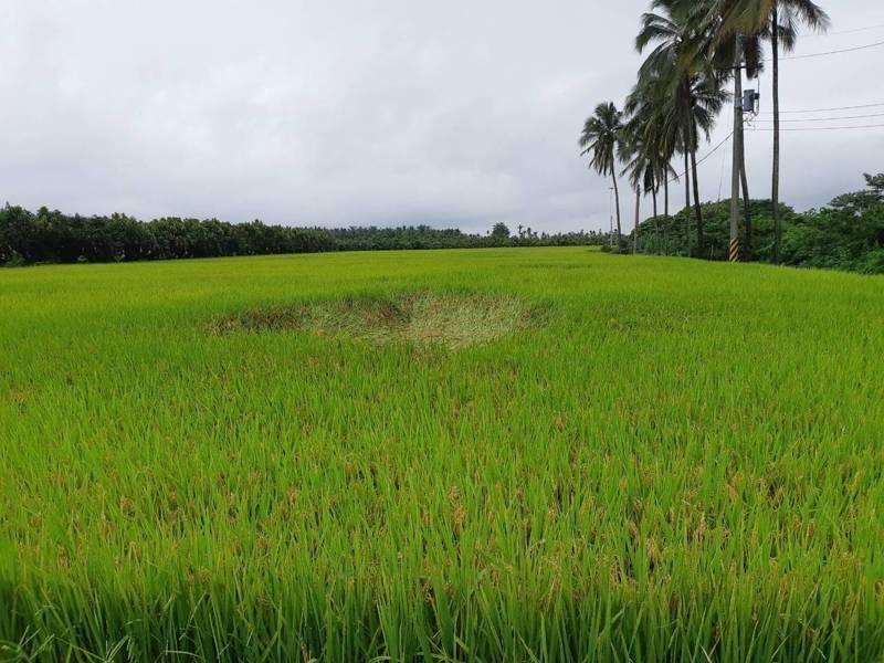 高雄近日數場豪大雨,水稻倒伏造成災損。圖/高雄市農業局提供