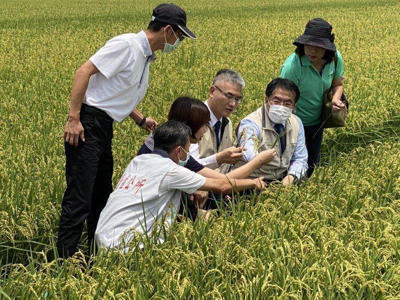 台南市長黃偉哲(右二)昨天由農業局長謝耀清(右三)等人陪同,視察後壁區一期水稻生長情形。圖/台南市農業局提供
