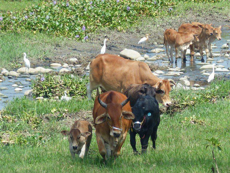 彰化縣芬園鄉貓羅溪畔約200多頭牛群在溪畔逐水草,近日在網路爆紅,大牛帶者小牛追逐水草  ,還有白鷺鷥飛翔相伴, 彷彿置身塞北風光。記者劉明岩/攝影