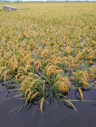 水稻倒伏,泡在水裡,農民血本無歸。圖/黃姓農民提供