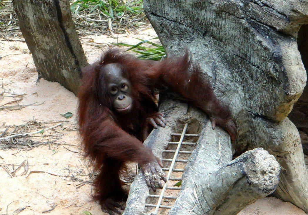 切丁放入格子裡的水果丁,紅毛猩猩好吃又好玩。圖/陳芝婷攝,台北市立動物園提供