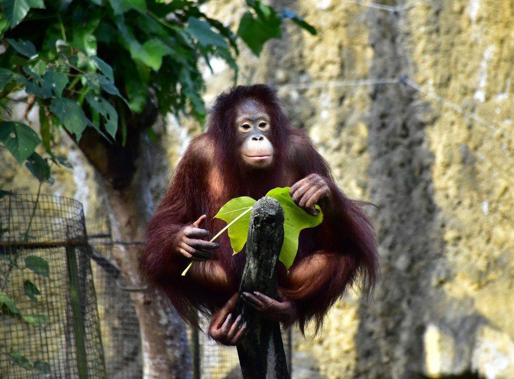 紅毛猩猩的牙齒可以將高纖維的食物磨碎,僅留下木質部部分。圖/台北市立動物園提供