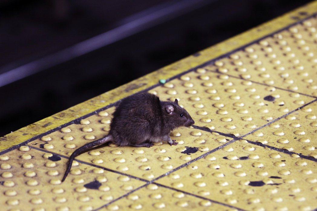 鼠群大舉遷移、大膽深入民宅區外,部分鼠群更因生存壓力而出現互食、噬崽、以及鼠群格...