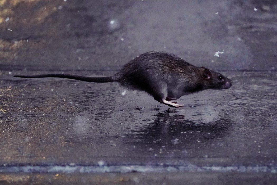 紐約老鼠奔跑中。 圖/路透社