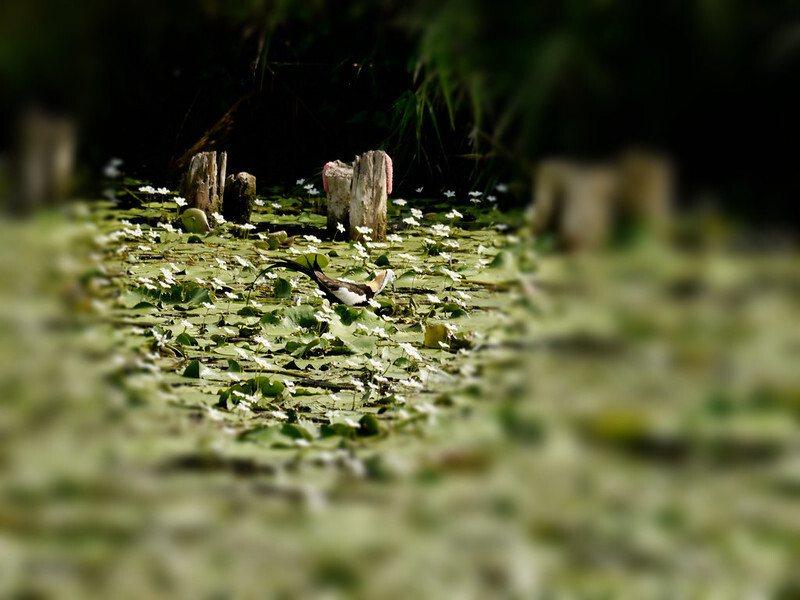 難得一見的水雉鳥,也稱凌波仙子,有牠出現,可以說是濕地的復育成效很好。