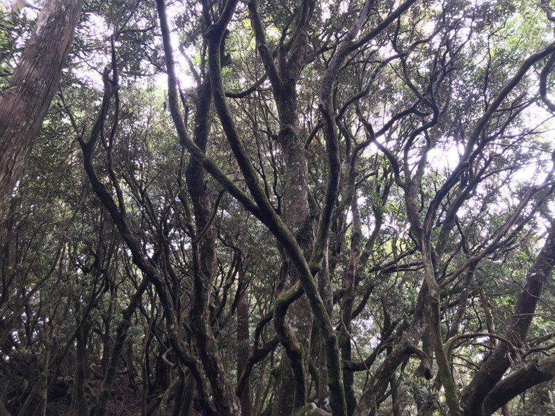塔曼山有台灣最大的森氏杜鵑林區。圖/桃園市巴崚國小提供