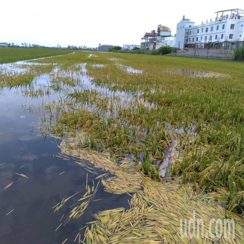 豪大雨影響,屏東縣東港鎮水稻全都泡在水裡、倒伏,農民損失慘重,血本無歸。圖/屏東縣政府提供