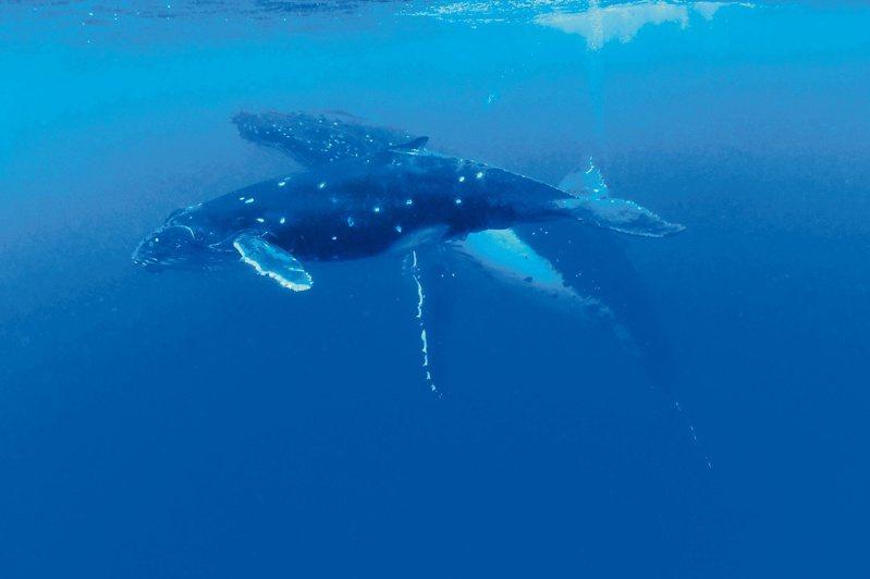 在東加王國海域,常常可見母子成對的大翅鯨一起悠遊,十分可愛。照片提供/主動脈
