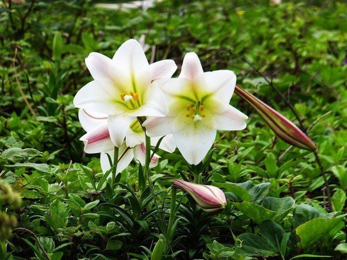 百合花季。 圖/Wikimedia