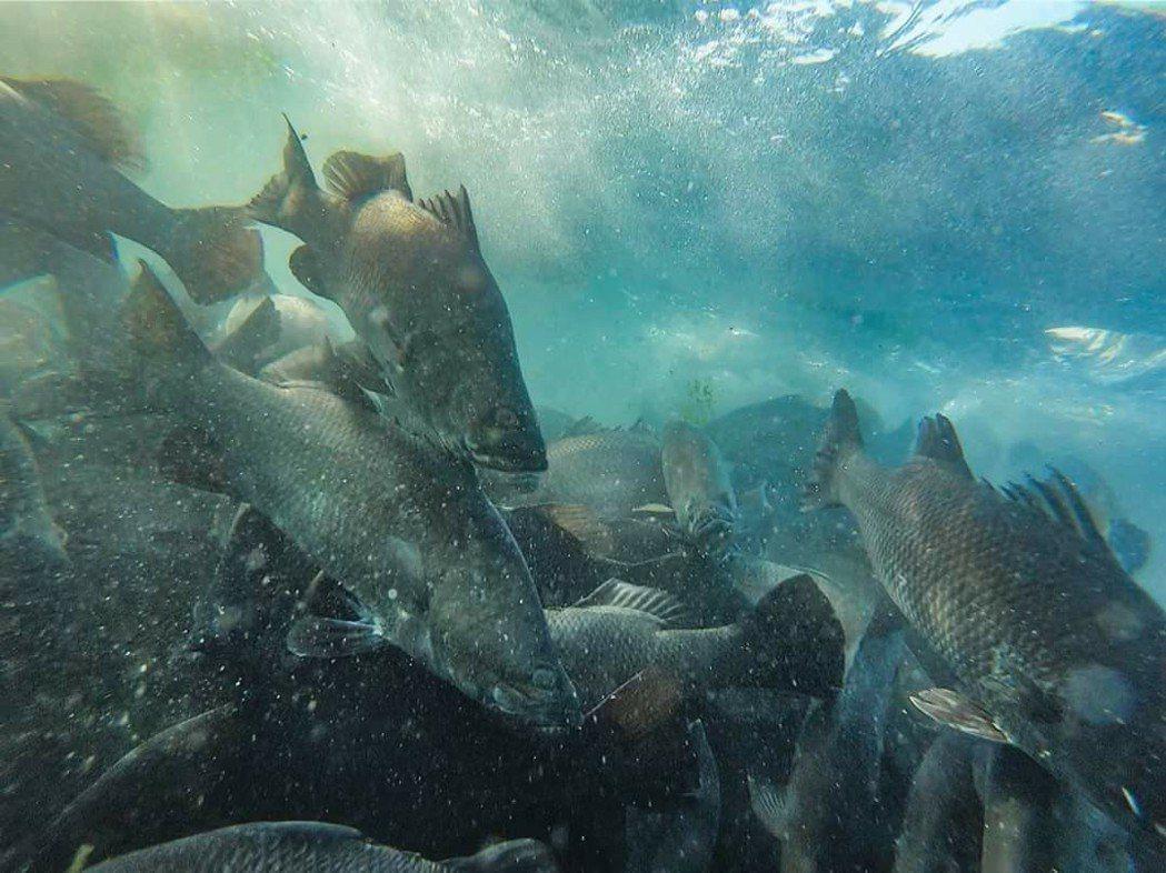 天和鮮物在澎湖漁場養出無毒魚。圖/摘自天和鮮物粉絲頁