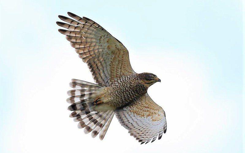 赤腹鷹體長約30公分,有台灣其他猛禽少見的豐富顏色,去年過境墾丁數量破25萬隻,創31年新高。 圖/蔡乙榮提供