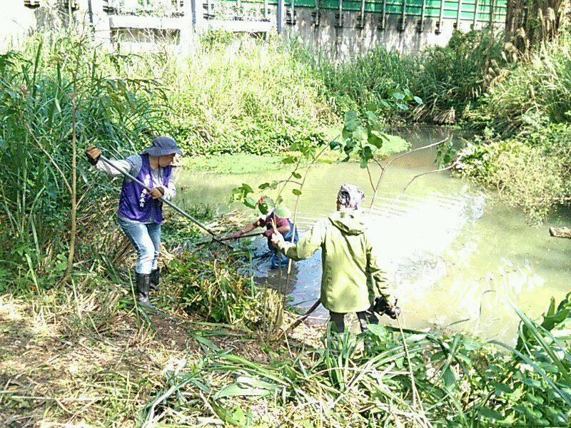 北市永春陂濕地公園定期清福壽螺。圖/北市公園處提供