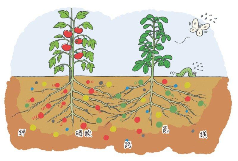 番茄能幫助羅勒遠離害蟲,在養分的分配上也能互助合作。 圖/蘋果屋出版社提供