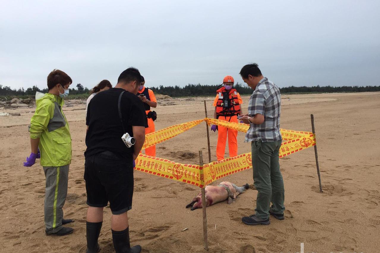 金門岸際第12起鯨豚死亡 初判為保育類中華白海豚