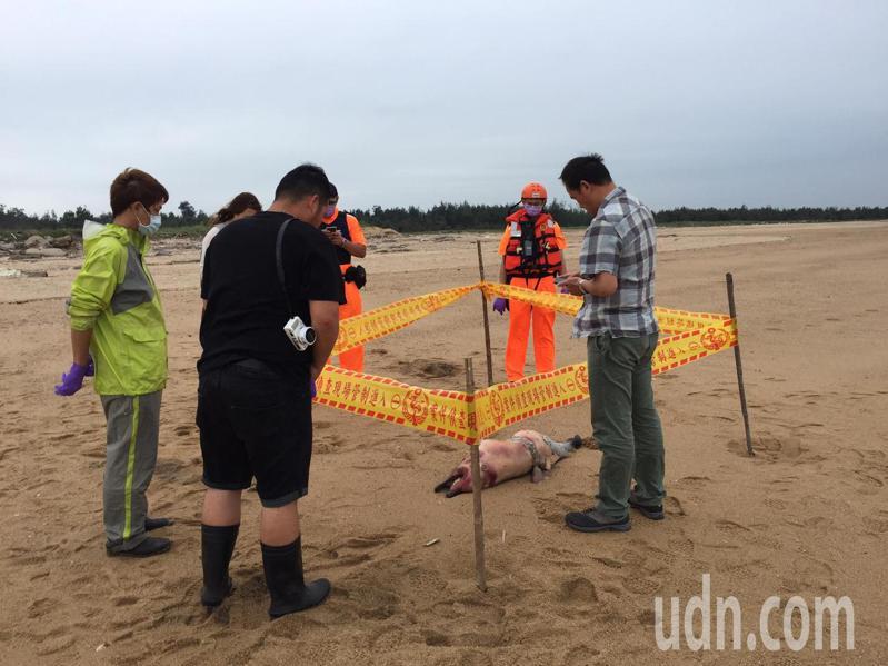 金寧鄉安岐岸際沙灘今天發現1隻死亡海豚屍體,經金門縣野生動物救援暨保育協會人員比對研判疑似為「中華白海豚」。記者蔡家蓁/攝影