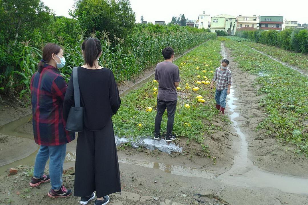 連日大雨 後龍西瓜、香瓜災情顯現