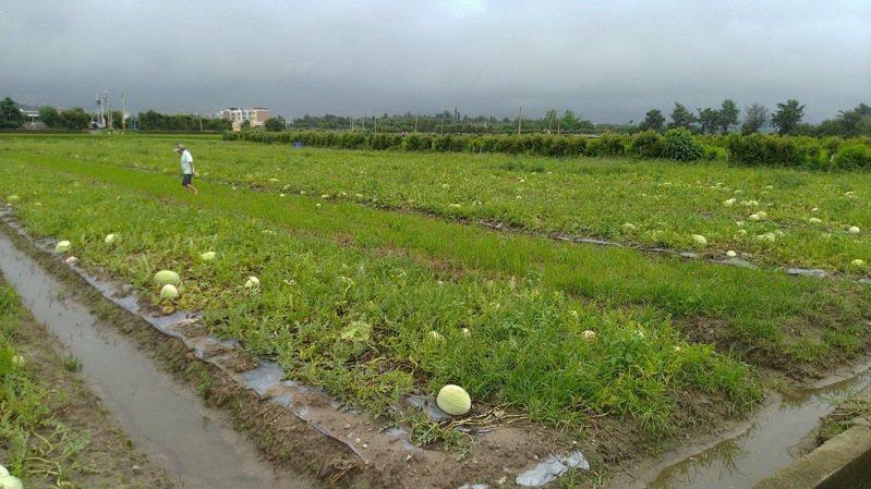 苗栗縣後龍地區栽種的西瓜、香瓜正值採收期,不料連日大雨造成災情。圖/後龍鎮公所提供