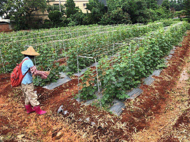 龍潭區有農友採直立式栽種香瓜,同樣因近日雨勢受災。圖/桃園市農業局提供