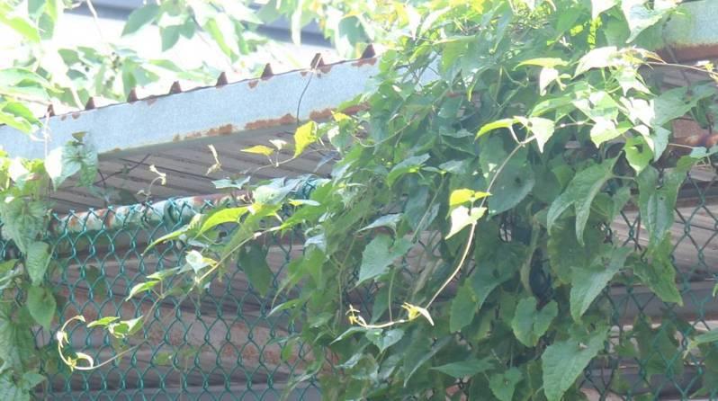 有植物殺手、綠癌之稱的小花蔓澤蘭,因大面積覆蓋,嚴重影響周遭植物行光合作用,危害林木生態。記者尤聰光/翻攝