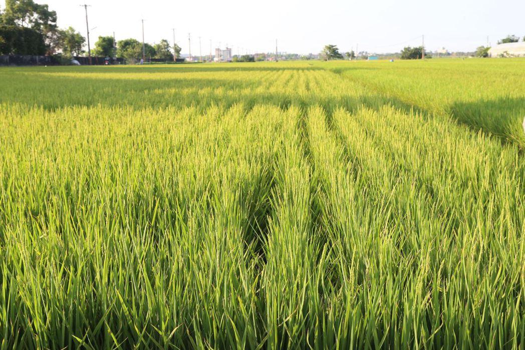 一期稻作即將收割, 台肥實名制配售合理化施肥奏效,稻熱病罹病大幅降低。圖/縣府提...