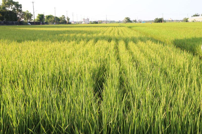 一期稻作即將收割, 台肥實名制配售合理化施肥奏效,稻熱病罹病大幅降低。圖/縣府提供