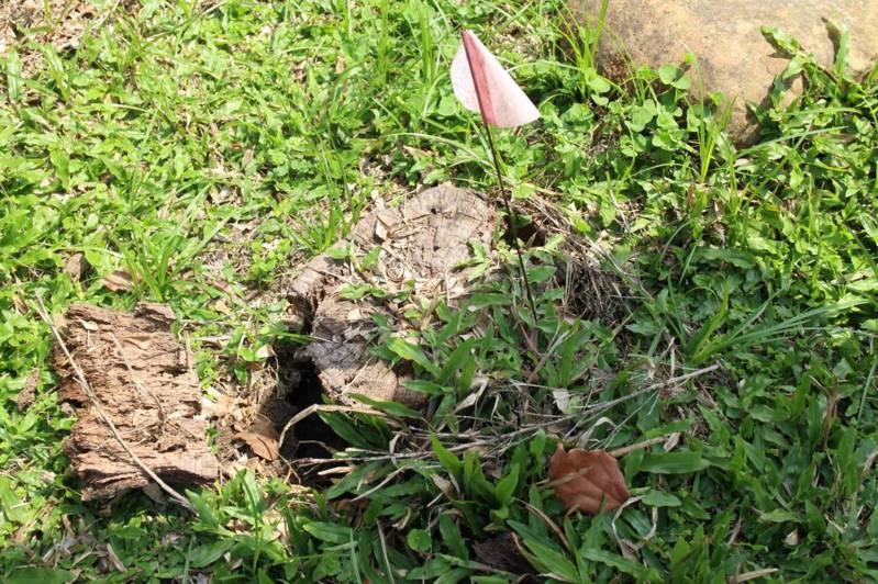 林務局嘉義林區管理處警覺觸口園區林木出現褐根病症狀,經林業試驗所「確診」共15處染病。圖/嘉義林管處提供