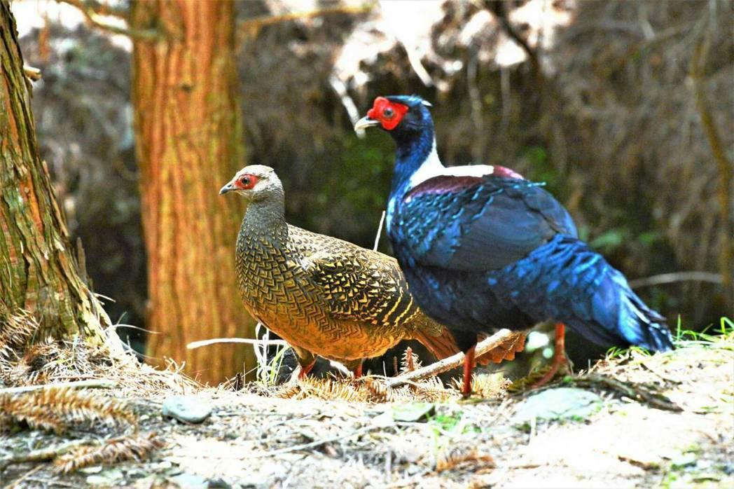 藍腹鷴以往主要出現在桃山瀑布步道附近,不料,前日有隻藍腹鷴雄鳥帶著雌鳥,竟現身武...