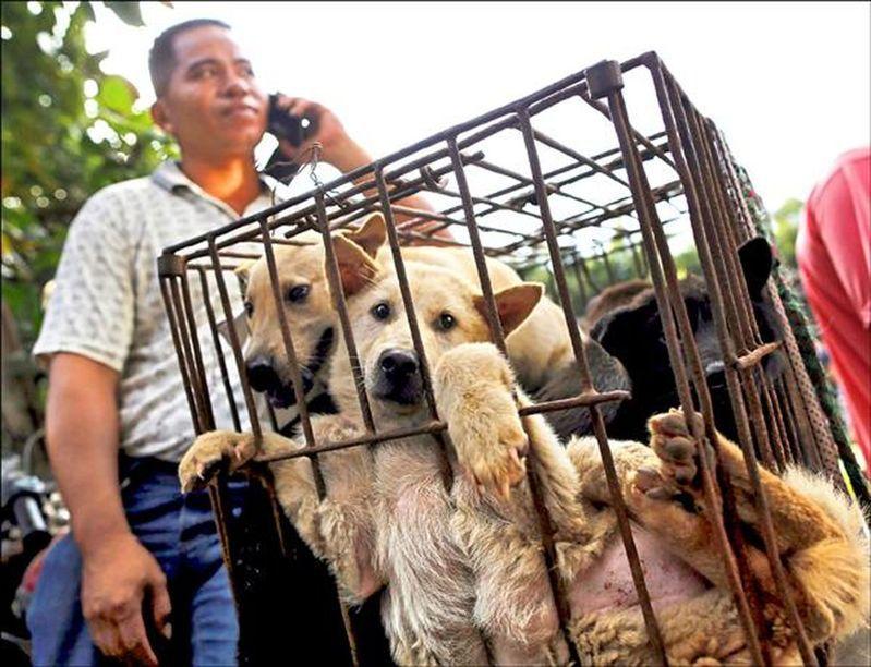 中國農業農村部29日公布「國家畜禽遺傳資源目錄」,首次明確「可食用」家畜家禽種類範圍,狗未被列入。圖為多年前廣西玉林狗販將在籠裡的狗送往市場販賣。 路透社