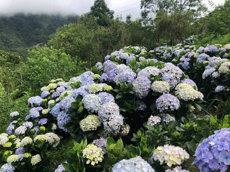 600多株的繡球花,有白色、黃色、藍色、紫色,美不勝收。圖/青山農場提供