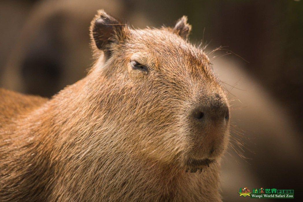頑皮世界野生動物園超萌水豚。圖/取自粉絲頁