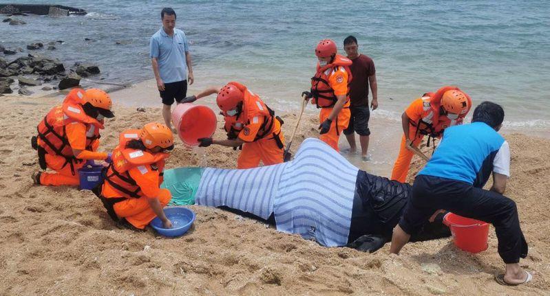 海巡署金馬澎分署第七岸巡隊等人員搶救擱淺的領航鯨。 記者林保光/翻攝