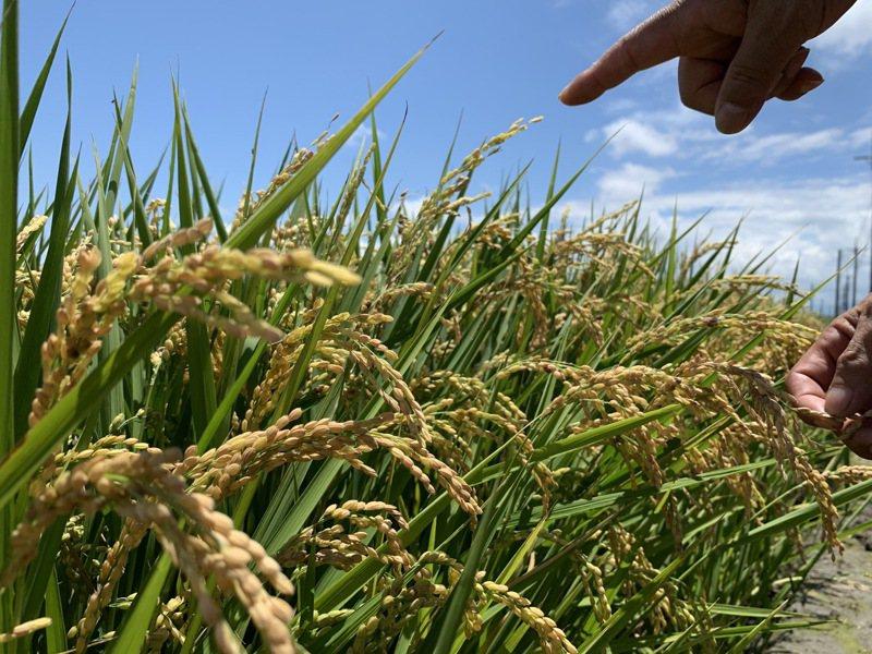 雲林北港蔡姓農民說,稻子五月下旬陸續抽穗,穀粒接著開始入漿、充實飽滿,稻穗應會愈來愈重而下垂,但近期發現不少直挺挺的「空包彈」。記者陳苡葳/攝影
