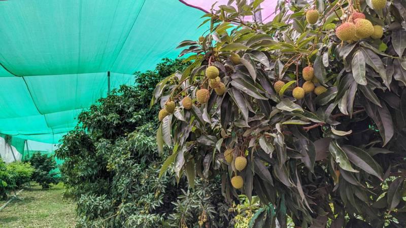 高市府農業局推動「玉荷包網室荔枝栽培」,希望透過網室栽培減少用藥量。圖/高市府農業局提供