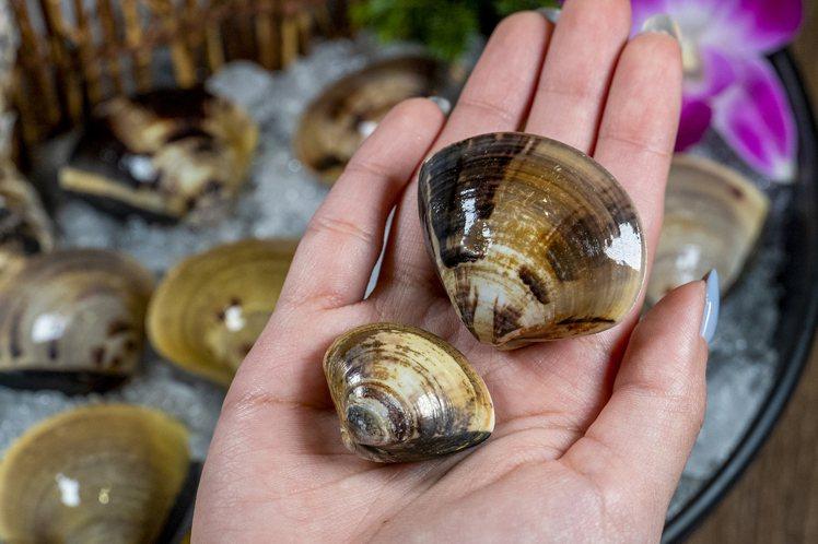 產自東石的巨大鮮蛤,個頭比一般文蛤大2~3倍。圖/馬辣提供