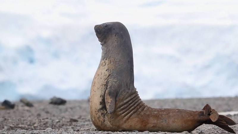 海豹野外變身瑜伽大師,軟Q動作網友敬佩。圖片來源/ youtube