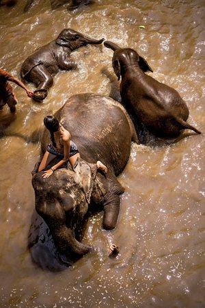 圖說:在清邁郊區的大象營地,遊客正準備幫大象洗澡(照片/紐約時報提供)