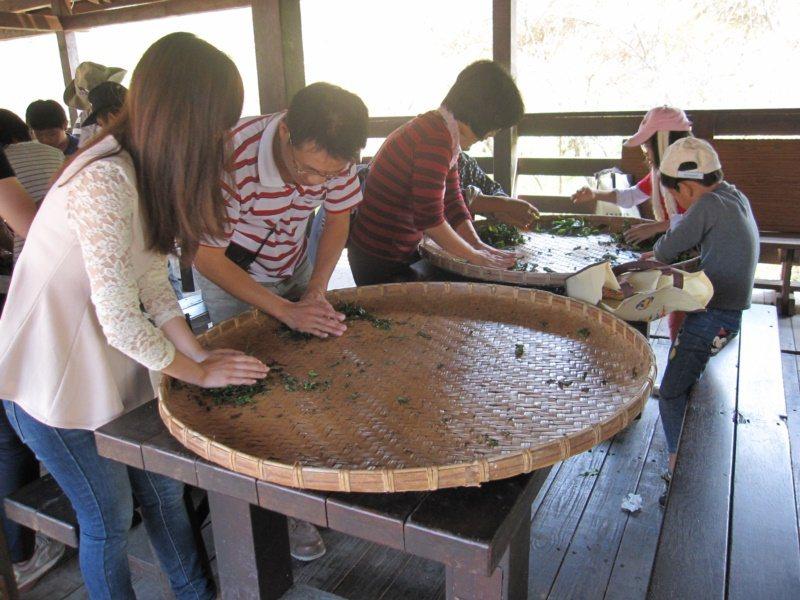 南投魚池澀水社區盛產紅茶,推出一日茶農體驗採茶、揉茶。 圖/水保局南投分局提供