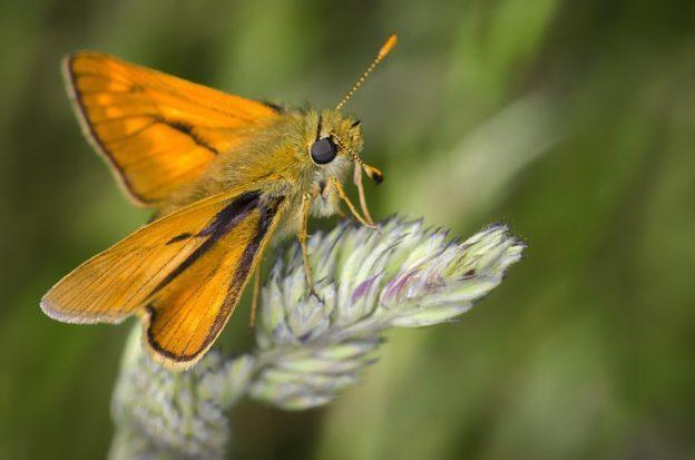 不只要救蜜蜂 研究發現蛾對授粉也一樣重要