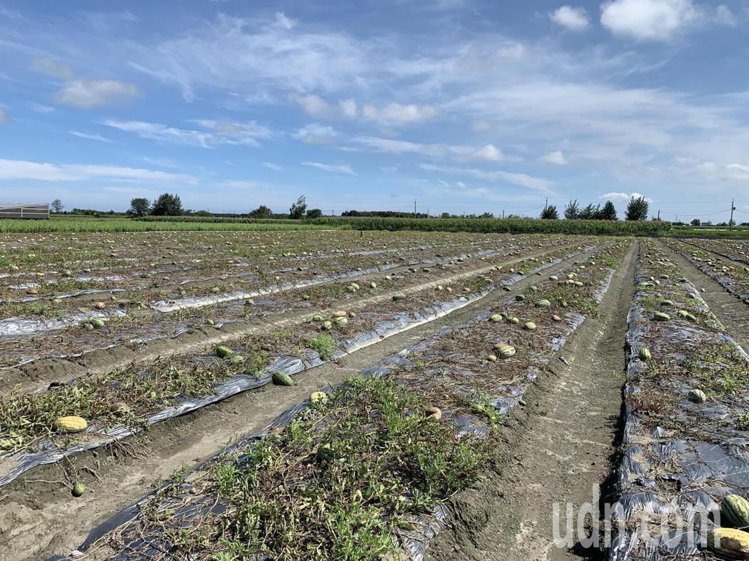 吳姓西瓜農說,以往六分地可收成6、7千斤,這次豪雨帶來約8成的災損,連收都沒得收...