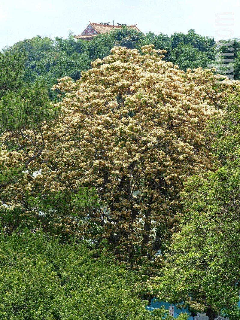 台灣自水來公司第11區管理處「後花園」裡,有兩棵樹齡都已6、70歲的罕見魚木,最近正值開花期,其中雌株剛開完,換由雄株接力盛開,滿樹金黃,美不勝收。記者劉明岩/攝影