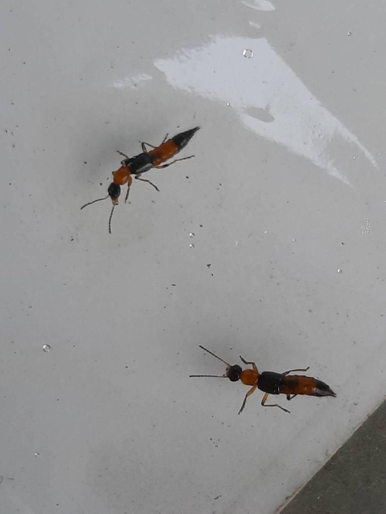 由於隱翅蟲體液會造成皮膚發炎,台中市農業局提醒,若在居家或社區環境發現隱翅蟲,請...