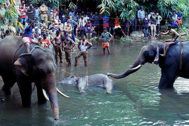 印度一頭懷孕的母象,5月底死於西南部喀拉拉邦一條溪河之中,一屍兩命。自6月3日開...