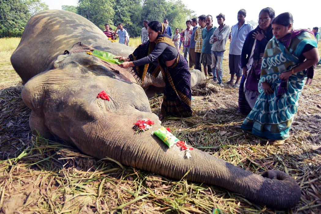 大象在印度文化中,扮演著重要角色。圖為印度一頭大象,在農田中被人設下的電擊陷阱電...