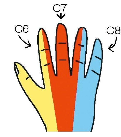 圖2:C6, C7, C8頸椎神經感覺分布範圍。圖╱楊士弘提供