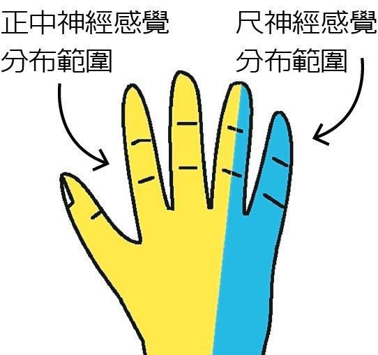 圖1:正中神經與尺神經感覺分布範圍。圖╱楊士弘提供