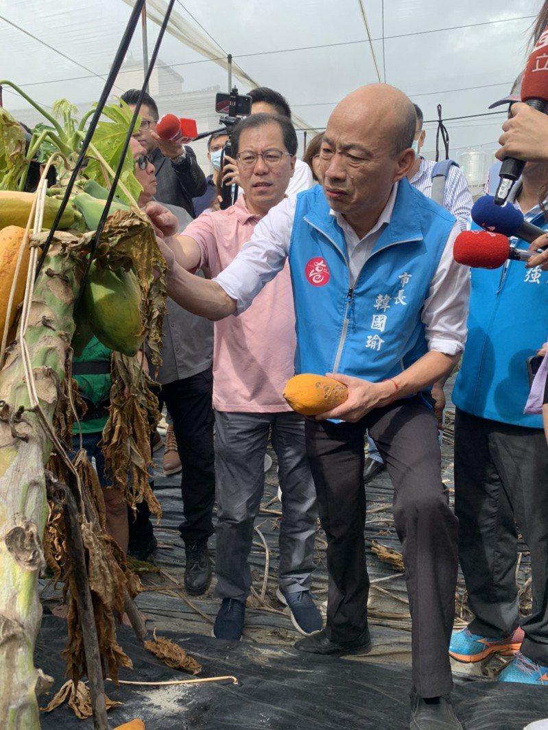 高雄市長韓國瑜今天上午安排到美濃、旗山視察,到木瓜園了解農損情況。圖/高雄市政府提供