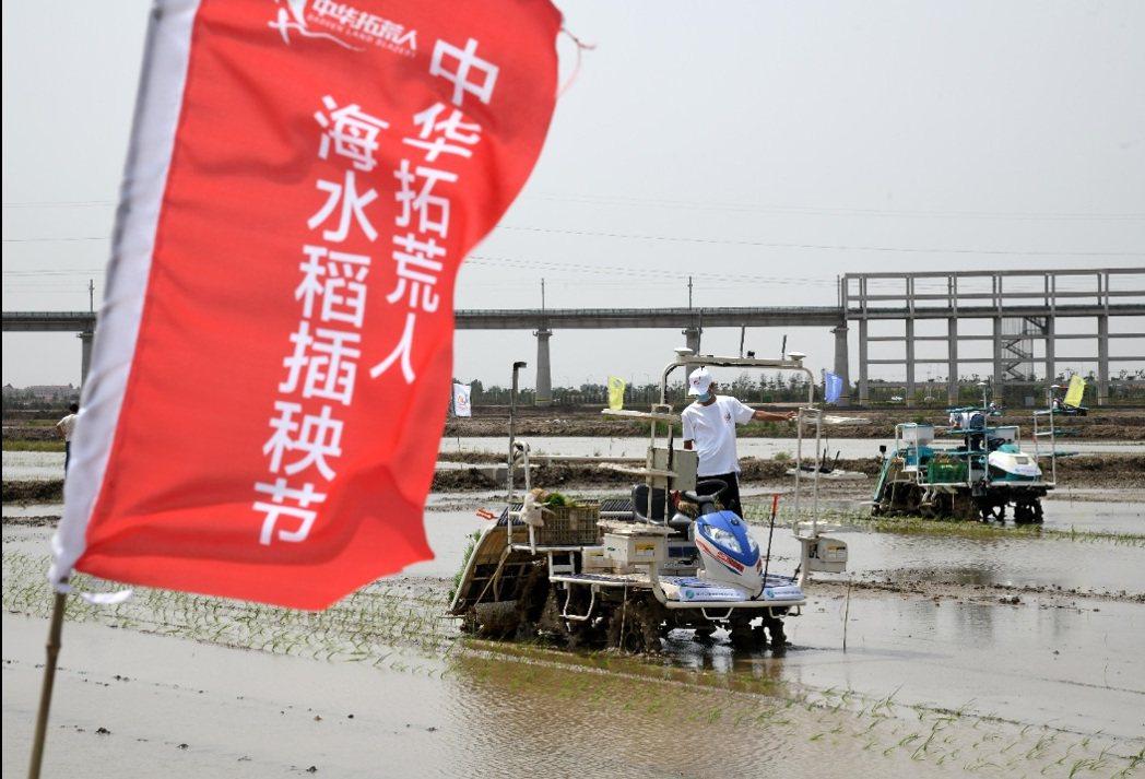「2020年海水稻全國聯合插秧活動」,6月5日,在青島城陽上馬鹽鹼地稻作改良示範...